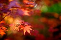 Red Leaf Focus